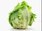 有机结球生菜 Iceberg lettuce